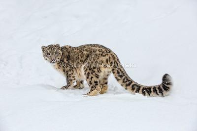 Snow Leopard 16-0218