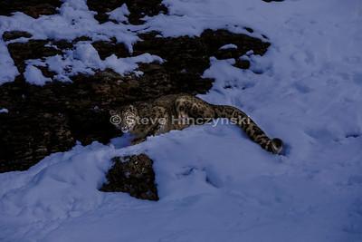 Snow Leopard 0353