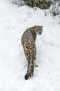 Snow Leopard 0387