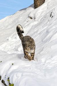 Snow Leopard 18-0187