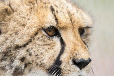 Cheetah 1840