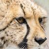 Cheetah 20160526 1840