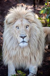 White Lion 1951