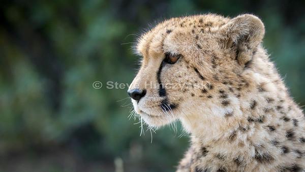 Cheetah 1723