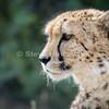 Cheetah 20160526 1723