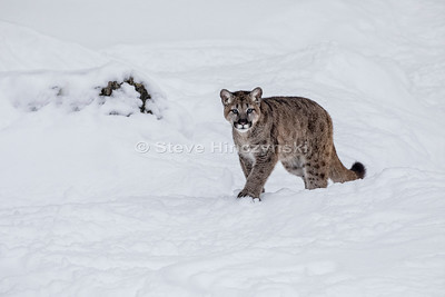 Mountain Lion 0073