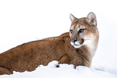 Mountain Lion  18-0070