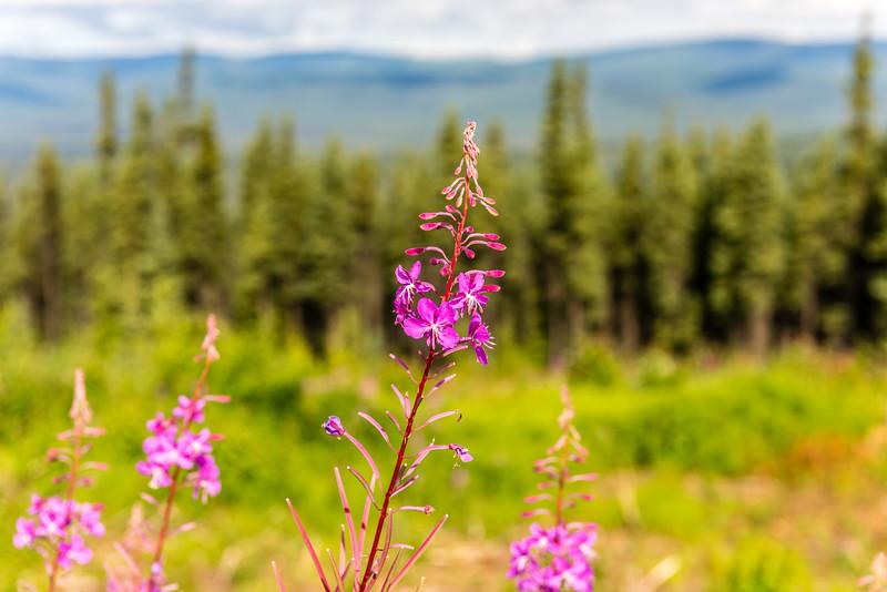 Purple Fireweed Flower