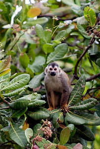 Central American Squirrel Monkey, Costa Rica