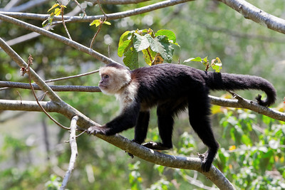 White-headed capuchin (Cebus capucinus) aka:  white-faced capuchin or white-throated capuchin, Costa Rica