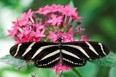 Zebra Heliconia aka: Zebra Longwing (Heliconius charitonius)