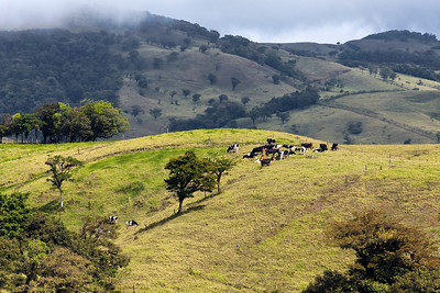 Grass fed cattle, Costa Rica