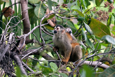 Squirrel Monkeys, parent and offspring, Costa Rica