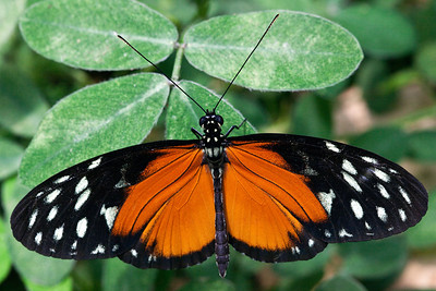 Tiger Longwing (Heliconius hecale) aka: Golden Helicon