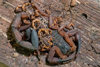 Bark Scorpion (Centruroides limbatus), Costa Rica