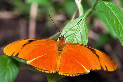 Julia Butterfly (Dryas iulia) aka: Julia Heliconian, The Flame, or Flambeau