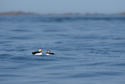 The last puffins in Metropolitan France?