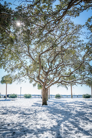 Snow Glistened Oak at White Point