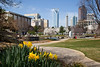 Daffodils in Bloom at Marshall Park