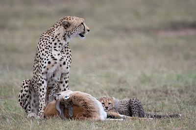 Cheetah with cub on a kill