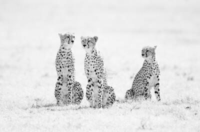 Three Male Cheetah