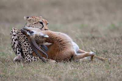 Cheetah with Thomson kill