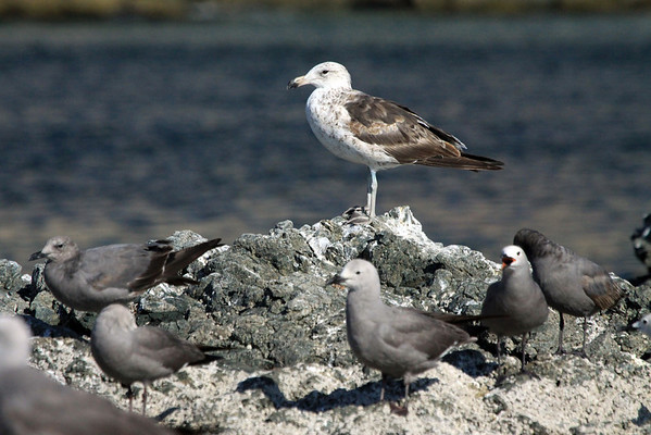 Peruvian Gull - immature specimen - among the Gray Gulls.