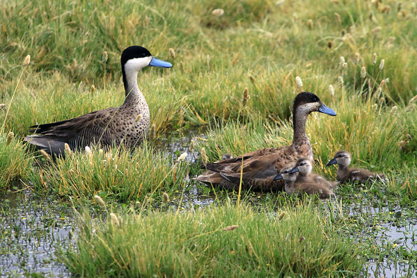 Andean Teal  - with 4 young immatures.