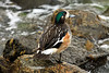 Chiloe Wigeon - displaying its distinctive iridescent green band, extending from the eye to the back of the neck