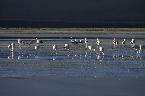 Flamingos foraging upon the Salar Ascotan.