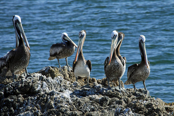 "Peruvian Pelicans (Pelecanus thagus) - known locally as ""Guajache""."