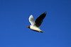 Brown-hooded Gull - in flight