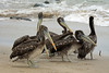 Peruvian Pelicans - mostly juveniles, tossing a blade of kelp.