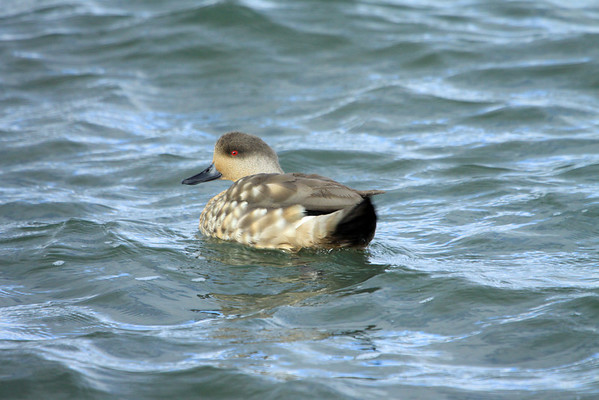 Patagonia Crested Duck -  they are carnivorous, feeding on crustaceans, invertebrate larvae, clams and adult insects.