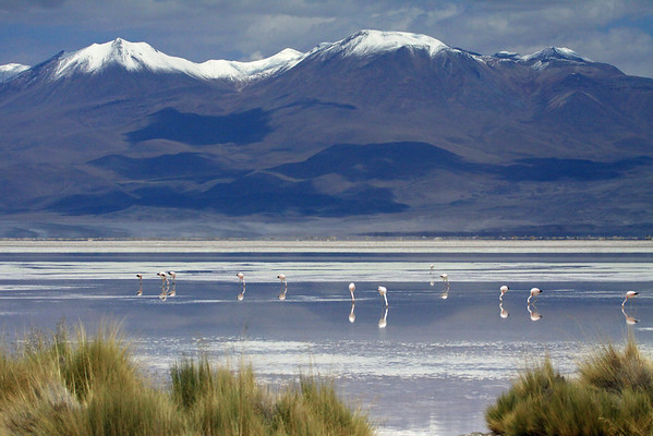 Flamingos - feeding on diatoms (microalgae) in the Salar Ascotan - part of the Alto Loa National Reserve - the very northeastern Antofagasta (region), Chile - with the snow capped slopes, of Cerro Cañapa beyond, southwestern Bolivia, Potosi department.