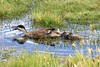 Puna Teal (hen) - letting out a vocal squaw - with her ducklings alongside.