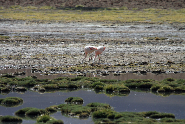 Chilean Flamingos - feeding mainly on diatoms in the high altitude waters of the Andes Mountains.