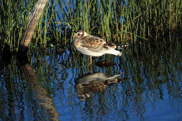Reflection of a juvenile Brown-headed Gull - amongst the macrophytic vegetation.