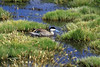 """Puna Teal  (Anas puna) - known locally as """"Pato Puna"""" - amongst the grass seed stalks of (Deyeuxia chrysantha)"""