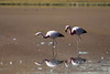 Andean Flamingo reflections amongst the floating plumage and terrestrial shoreline.