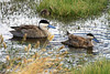 Pair of mature Puna Ducks - with one of their ducklings feeding in the background.