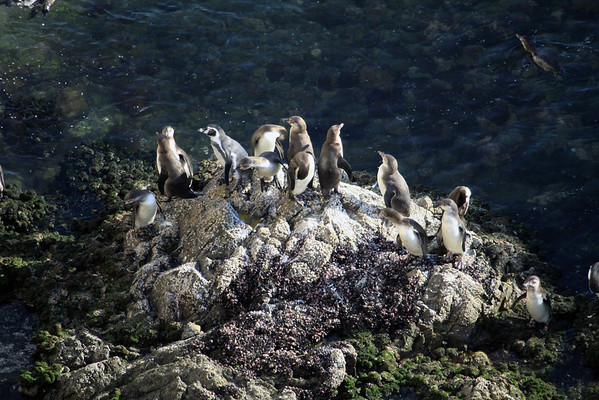 Humboldt Penguins - along the shoreline in Bahia Moreno, in the late afternoon sunlight.