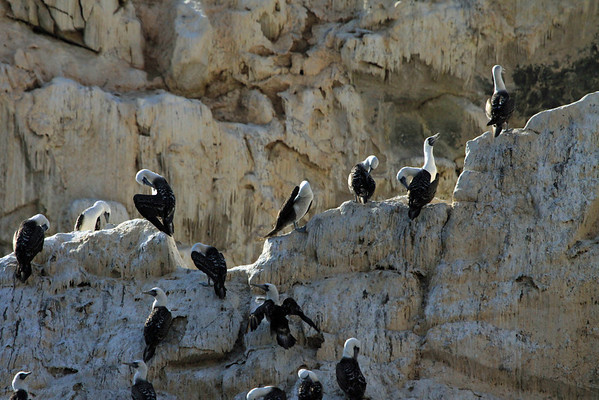Peruvian Booby - perched upon a cliff, of a coastal rock island, covered in guano.