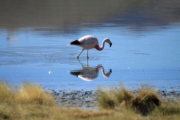 Andean Flamingo - reflection in the Laguna Santa Rosa.