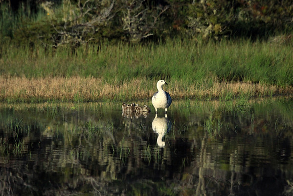 Day's first rays on the Magellan Goose (male) - with its young brood of 7.  This species grows to about 2.4 ft. (74 cm) in length - and weight up to around 7 lb. ( 3.2 kg).