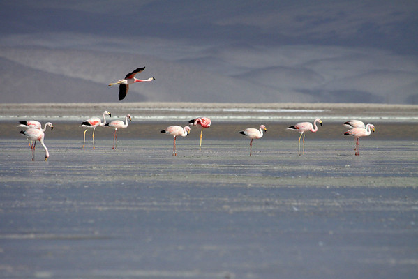 Andean Flamingo - in flight over other Chilean and Andean Flamingos - in the Salar Ascotan.  Flamingos can fly up to around 35 mph (56 km/hr.).