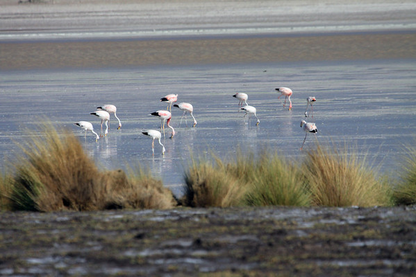 Beyond the tussock grass in the mid-summer season - to the Flamingos - feeding in the Andean Plateau waters, of Salar Ascotan.