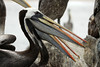 Peruvian Pelicans - the large gular pouches and hooked upper bills.
