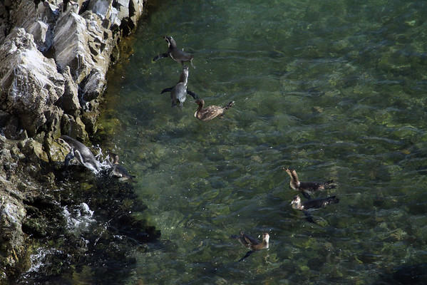 Guanay Cormorant  - swimming amoungst the Peruvian Penguins - with 2 specimens coming ashore the rocky coastline.