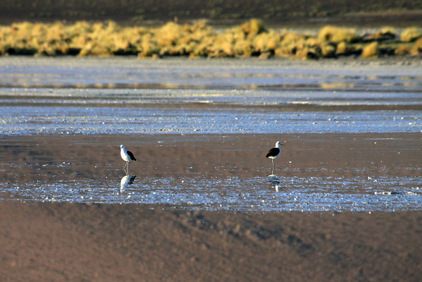 Andean Avocet  (Recurvirostra andina) -  this species displays a white head, neck, underparts and rump with a dark brownish black back, wings and tail. The thin, grey legs are not as long as with other avocet species, but the long thin black bill is upturned at the end.  They grow to about 19 in. (.5 m) in length - and weighs up to around 14 oz. (.4 kg).